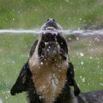 Help je Rottweiler door de hittegolf heen