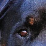 Rottweiler mishandeld in Leiden