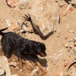 Rottweiler als reddingshond