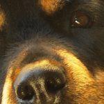 De Rottweiler vacht en de vele varianten