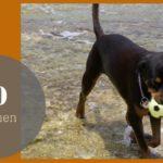 10 redenen waarom ik heb gekozen voor een Rottweiler