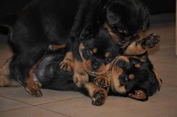 rottweiler pup aanschaffen