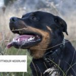 Stichting Rottweiler Nederland is er voor alle Rotties!