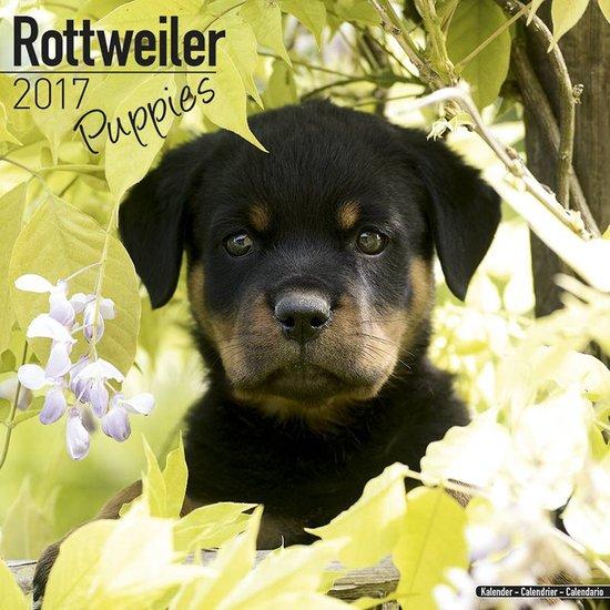 rottweiler kalender puppies
