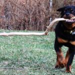 De enorme bijtkracht van de Rottweiler