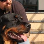 Waarom werd staart of oren gecoupeerd bij Rottweilers?