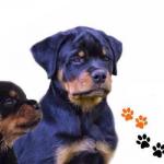 Rottweiler Jongehondendag op 10 september
