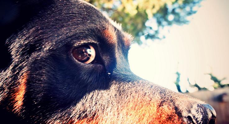 Rottweiler nieuwtjes en honden weetjes
