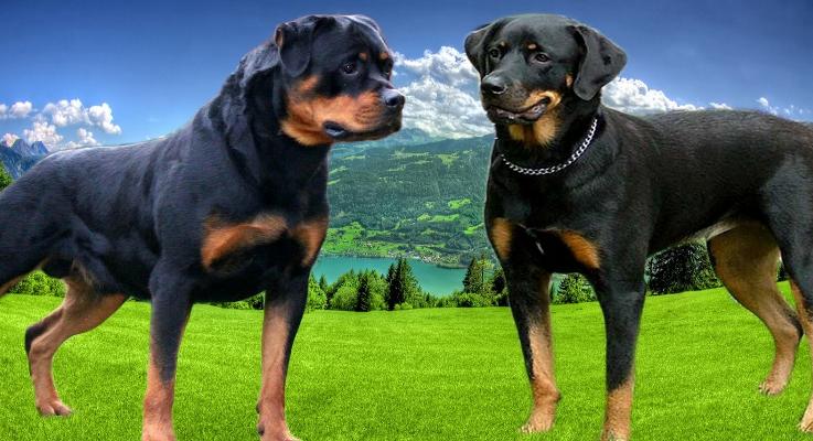 Amerikaanse Rottweiler en Duitse Rottweiler: de 5 verschillen