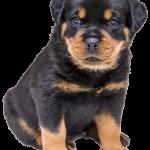 Groei van de Rottweiler: van 1 pond tot wel 50 kilo!