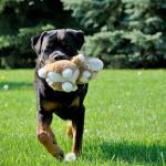 Een Rottweiler Werkgroep: Wat is dat eigenlijk?