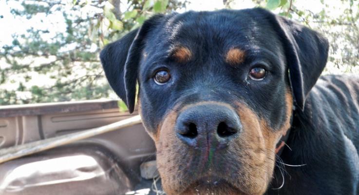 MAG test en andere gedragstesten voor de Rottweiler