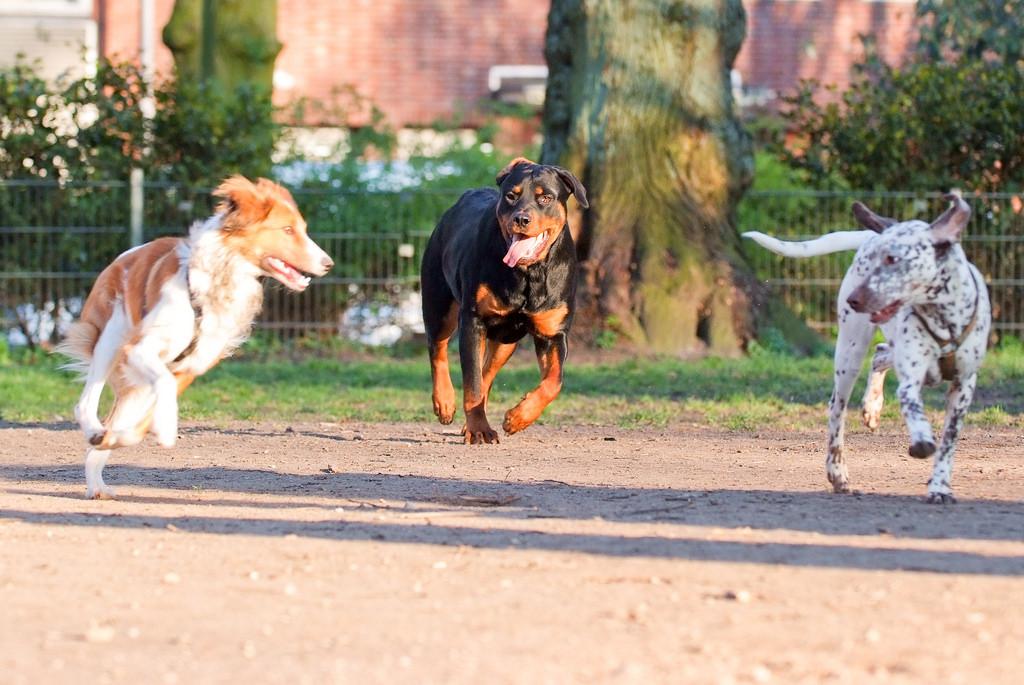 Socialisatie Rottweiler