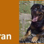 Rottweiler Boran