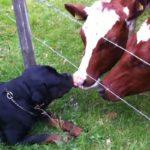 Rottweiler als veedrijver
