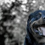 rottweiler blindengeleidehond