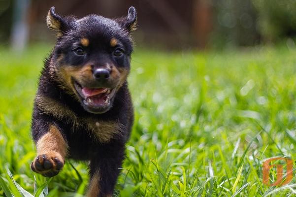 Rottweiler pup opvoeden