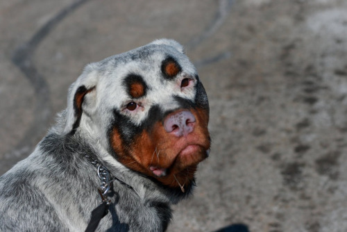 Rottweiler met Vitiligo