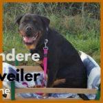 bijzondere Rottweiler Cheyenne