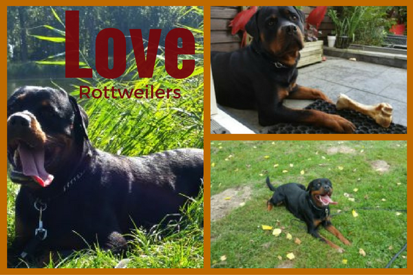 Love Rottweilers