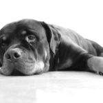 Huidproblemen bij de Rottweiler