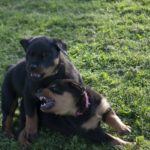 stoeiende Rottweiler pups