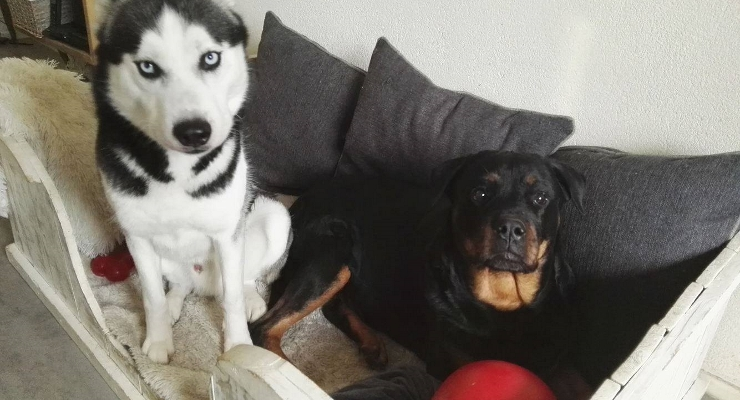 Husky en Rottweiler