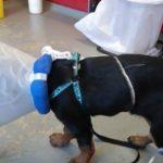Het verhaal van Senna: de Rottweiler met JLPP