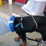 Rottweiler pup Senna is overleden als gevolg van JLPP