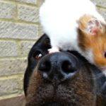 Rottweiler en hamster