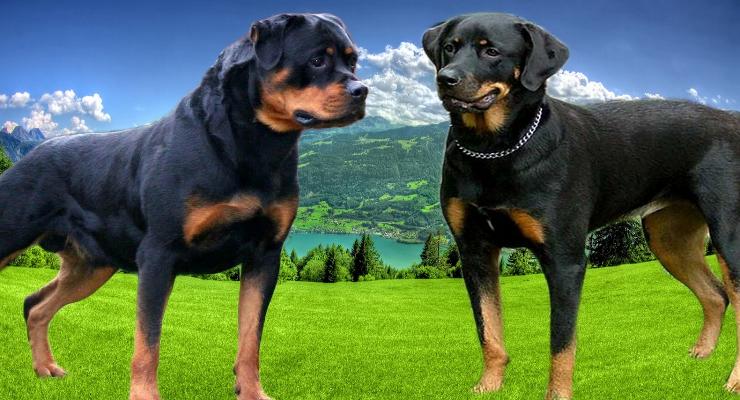 Amerikaanse Rottweiler en Duitse Rottweiler