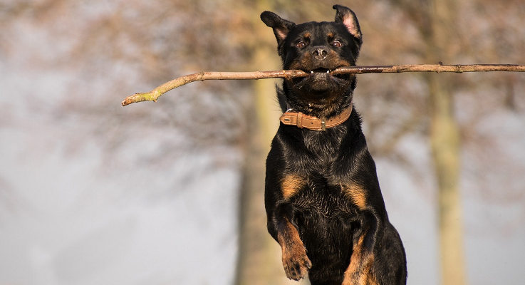 Doe mee aan de Landelijke Rottweilerdag