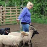 Rottweilers en schapendrijven: een prima combinatie!