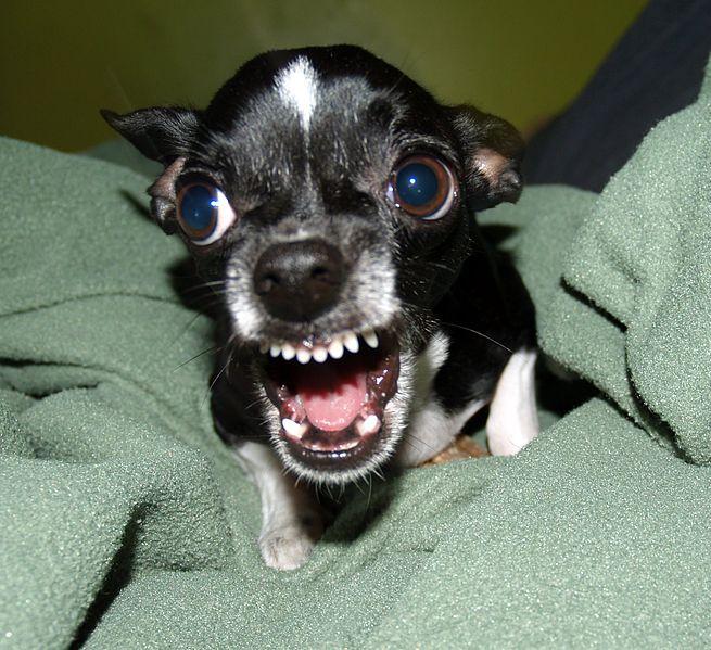 Een Rottweiler is hetzelfde als een Chihuahua