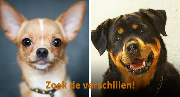 Chihuahua en Rottweiler