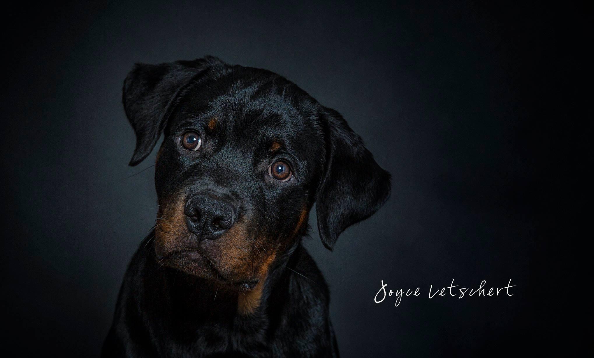 Rottweiler fotografie