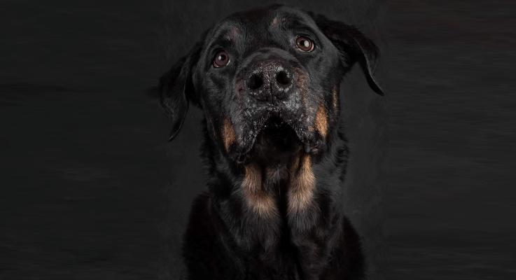Senior Rottweiler Joep van 13 jaar