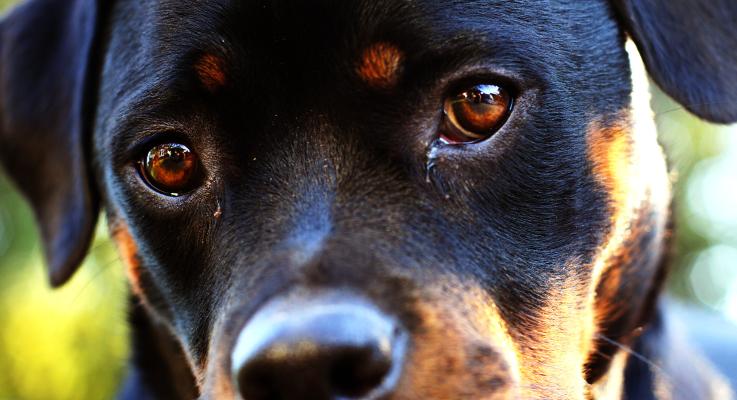 Wist je dat de Rottweiler bijna uitgestorven was?