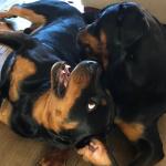 uderwetse opvoedmethode van je Rottweiler