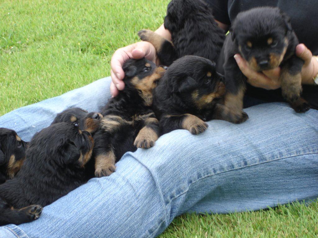 vraag naar Rottweiler pups