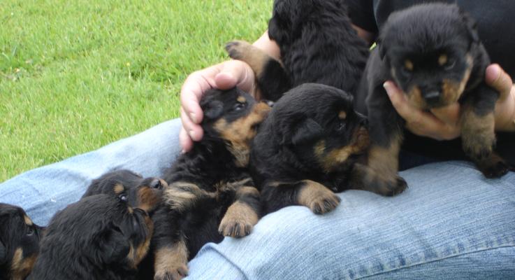 Vraag naar Rottweiler pups enorm gestegen door corona