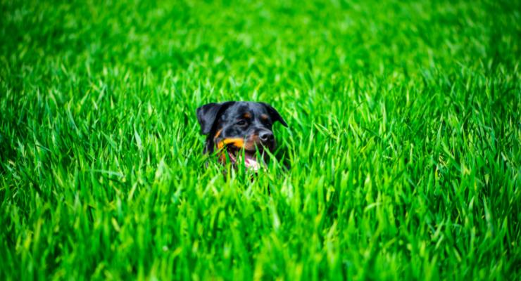 Waarom eten Rottweilers gras?