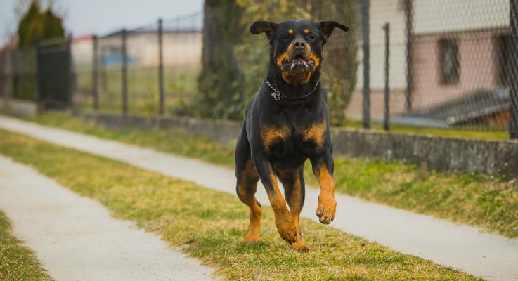 Hoe hard kunnen Rottweilers rennen?